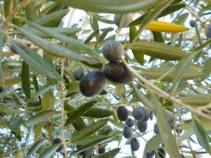 Olives Frontyard