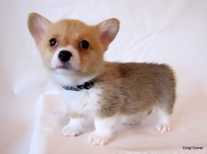 Saydees Pups 6 Weeks 017