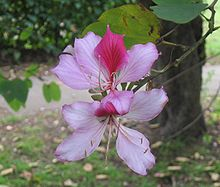 orchid tree flower
