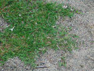 bermudagrass-cynodon_dactylon