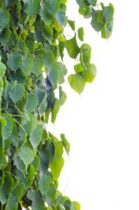 Sacred Fig Tree leaves against white background, Pipal Tree, Bohhi Tree, Bo Tree, Peepul, Ficus religiosa