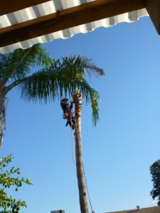 Palm-tree-trimmer