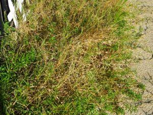 microgardenbermudagrass